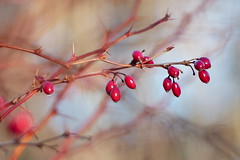 Red berries (evisdotter) Tags: winter light red macro berries bokeh br sooc