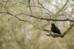 Good Morning Mr Blackbird (Wacka Quacker) Tags: winter rutland blackbird
