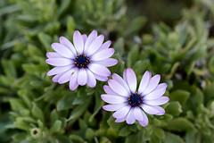 Pair of purple flowers (fongpei) Tags: sanfrancisco california goldengatepark flowers unitedstates sony botanicalgarden