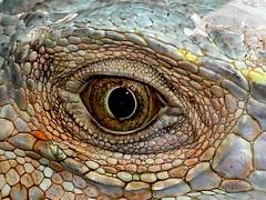 Reptilian Thoughts (Ger Bosma) Tags: eye closeup eyes skin head reptile iguana scales extremecloseup eyelid quiz iguanaiguana greeniguana grnerleguan iguanaverde iguanecommun groeneleguaan legwanzielony iguanacomum teyiguanevert 2mg19224crop