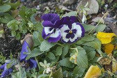 Tucson Pansies (cobalt123) Tags: flowers arizona canon tucson pansy firstphotos pansies age11 2016 anavey tucsonrockandgemshow xti canonrebelxti anaveybolender