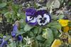 Tucson Pansies (cobalt123) Tags: flowers arizona canon tucson pansy firstphotos pansies age11 2016 anavey tucsonrockandgemshow xti canonrebelxti anaveybolender
