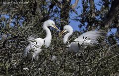 Out of Here Dude (wesjr50) Tags: birds canon eos fight ii 7d mk avian rookery nests staugustineflorida breedingplumage naturewildlife naturallightphotography staugustinealligatorfarm breedingcolors canonef100400mmf4556iszoom