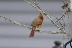 Cardinal female (wvsawwhet) Tags: red bird birds cardinal birding wv westvirginia birdwatching fairmont redbird marioncounty northerncardinal westvirginiabirds birdsofwestvirginia
