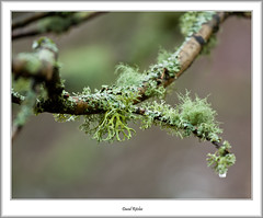 Green Lichen (flatfoot471) Tags: winter plant nature landscape scotland unitedkingdom normal milngavie 2016 eastdunbartonshire