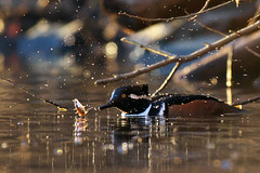 Lucky fish (Adam Wang) Tags: lake fish bird nature duck wildlife splash hoodedmerganser