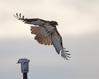 Red Tailed Hawk 4234