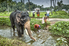 The Black Elephant and a Flowing Stream near Thattekad in Kerala (Anoop Negi) Tags: india elephant green water temple photography bath stream kerala bathing anoop negi fiels mahout bating ezee123 thattekad