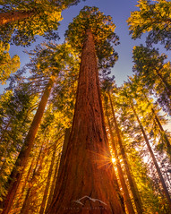 Reaching for Warmth (Sairam Sundaresan) Tags: park trees sunset sun tree nature colors canon giant stars landscape nationalpark glow sony wideangle national yosemite yosemitenationalpark sequoia sunstar sairam sundaresan sairamsundaresan sonya7rii