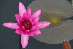 Red Lotus Marine, Thailand (Gsta Knochenhauer) Tags: red flower thailand lumix udon marine asia lotus south january east panasonic thani 2016 fz1000 p8970963