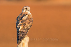 Brown Falcon (chrissteeles) Tags: bird birding raptor falcon sa southaustralia birdofprey freeling brownfalcon