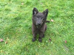 En mode explorateur (Louloulerot) Tags: dog chien dutch puppy belgique chiot sheperd berger hollandais herder hollandse neupr rgionwallonne