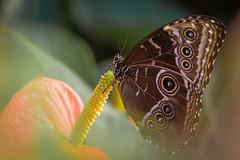 Morpho (fredvr (Fred van Rooijen)) Tags: butterfly insect butterflies morpho vlinders vlinder morphopeleides bluemorpho nf