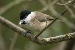 Marsh tit (Shane Jones) Tags: bird nikon tit marshtit 200400vr d7200