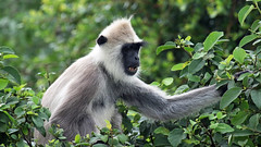 Tufted Grey Langur (jaytee27) Tags: nature lens srilanka through naturethroughthelens tuftedgreylangur