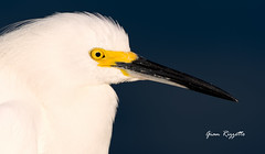 Snowy Egret in perfect light (Gian Rizzetto) Tags: morning light bird ed outdoors photography nikon perfect florida wildlife sony birding 70300mm egret vr d7200