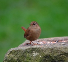 wren (2) (Simon Dell Photography) Tags: city wild brown cute bird simon nature up animal garden photography town flying wildlife sheffield tail small dell tiny wren