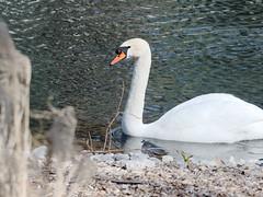 Goose (JY_Photos) Tags: usa bird nature water kentucky indiana olympus goose louisville cavehillcemetery jyphotos mzuikoed40150mmf28pro omdem5markii