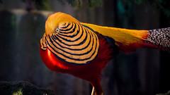 Some color for gray rainy days:-) (Saarblitz (Offline for a few days)) Tags: portrt vgel vogel farben leuchten goldfasan glnzen farbenpracht federschmuck somecolorforgrayrainydays