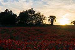 DSC04628 (wheelsy1) Tags: walking derbyshire poppy chesterfield sheepbridge poppyfield unstone richardwiles