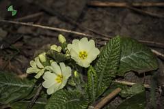 primule (mirkopizzaballa) Tags: verde primavera nikon natura primule inverno colori iori gialle fiorellini nikond7200