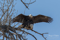 Bald Eagles copulating sequence - 13 of 28