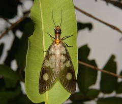 Fishfly (Neurhermes sp., Corydalidae, Megaloptera) (John Horstman (itchydogimages, SINOBUG)) Tags: china macro insect yunnan fishfly megaloptera corydalidae itchydogimages sinobug