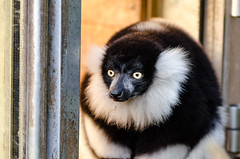 Black and white Ruffed Lemur (Mathias Appel) Tags: world red white black tree cute green eye feet blanco public leaves animal festival germany fur deutschland foot zoo eyes nikon noir day branch y bokeh background negro adorable blurred bamboo list lemur endangered augen tierpark et madagascar blanc auge var fell schwarz bianconero domain tier niedlich bambus weiser rufo svartvit fus vari ruffed iucn madagaskar schwarzweis wari lemuren critically lmur fse grn vareciapretoebranco