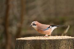 Jay-6517 (Kulama) Tags: winter nature birds jay wildlife warnham