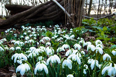 Snow drop wood (drjacquebaxter) Tags: nature forest spring woods snowdrops imbolc