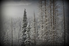 *heavenly WiNtEr trees* (^i^heavensdarkangel2) Tags: trees winter white season colorado cloudy wolfcreekpass colorfulcolorado desbahallison heavensdarkangel2 heavenlywintertrees
