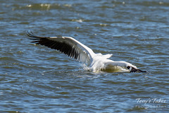 American White Pelican fishing sequence - 8 of 20