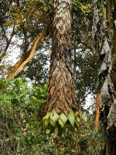 Ensete glaucum (Roxb.) Cheesman Musaceae-elephant banana กล้วยนวล