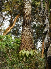 Ensete glaucum (Roxb.) Cheesman Musaceae-elephant banana  (SierraSunrise) Tags: flowers trees plants green thailand chiangrai musaceae wiangkaen
