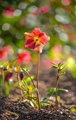 Hellebore and Friends (paulapics2) Tags: nature canon garden spring flora bokeh earth blumen 5d hellebore growing colourful joyful frühling helleborus hydehallgardens