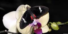 Butterfly (Nemodus photos) Tags: butterfly papillon buzznbugz backyardbutterflies bbflowers fz1000