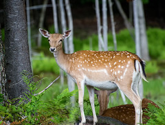 Oh Dear (`James Wheeler) Tags: park wild plants baby brown white canada cute green tourism nature beautiful grass animal forest woodland fur mammal outdoors natural little quebec outdoor wildlife young meadow doe deer spots fawn wilderness habitat tailed parcomega whitetail