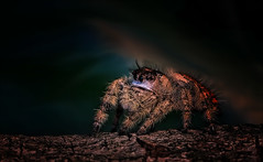Baby You're a Firework (kathybaca) Tags: world hairy cute nature beautiful bug spider jump jumping eyes earth web arachnid insects ground shy creepy explore hide tiny bite hary predator jumpingspider phids