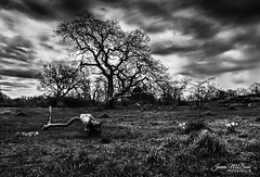 Life comes from the earth and life returns to the earth. -  Zhuangzi (James McBean Photography) Tags: flowers trees blackandwhite nature monochrome clouds contrast landscape moody outdoor britishcolumbia vancouverisland daffodils cloudporn victoriabc uplandspark