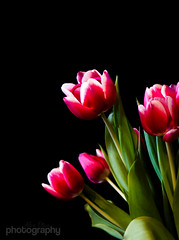 Spring is here (Alex Chilli) Tags: flowers red white black march spring tulips indoors bunch instantfave