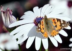 DSC_0154 (rachidH) Tags: flowers vanessa nature cosmopolitan blossoms egypt butterflies insects bee cairo papillon daisy blooms dame africandaisy cynthia paintedlady osteospermum vanessacardui blueeyeddaisy vanessedeschardons labelledame vanesse rachidh