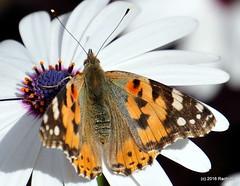 DSC_0156 (rachidH) Tags: flowers vanessa nature cosmopolitan blossoms egypt butterflies insects bee cairo papillon daisy blooms dame africandaisy cynthia paintedlady osteospermum vanessacardui blueeyeddaisy vanessedeschardons labelledame vanesse rachidh