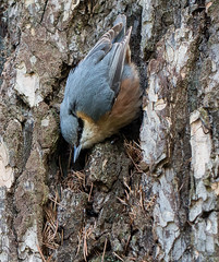Nuthatch (kimbenson45) Tags: blue brown black tree bird nature animal pine outdoors grey wings wildlife tail gray stripe feathers bark needles nuthatch catchlight eyebar