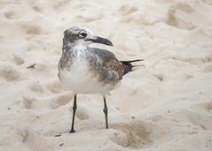 Leucophaeus atricilla (GaboUruguay) Tags: ocean travel sea bird beach animal mexico natural gull playadelcarmen playa ave pajaro rivieramaya turismo gaviota