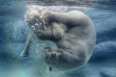 water ballet (ucumari photography) Tags: bear animal mammal zoo oso nc north polarbear carolina april nikita anana eisbr ursusmaritimus oursblanc 2016 osopolar ourspolaire orsopolare specanimal ucumariphotography sbjrn dsc7008