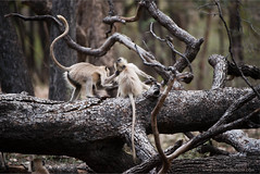 Gray Langur Monkeys in Battle (Raymond J Barlow) Tags: travel india forest monkey fight wildlife battle adventure workshop ranthambore phototours raymondbarlow