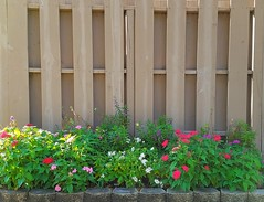 Morning Light (Helen) Tags: flowers sun plant flower green fence garden flowerbed pentas fencefriday samsunggalaxys7 samsunggalaxys7edge