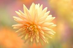 The Colors Of Your Love (Anna Kwa) Tags: dahlia flower macro love nature colors hope rainbow nikon singapore heart bokeh earth prayer soul round dreams d750 always wish cactusdahlia my afsvrmicronikkor105mmf28gifed flowerdome gardensbythebay annakwa