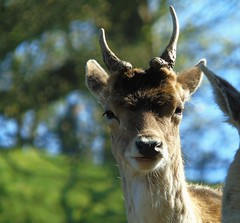 Young Buck (Oxford Murray) Tags: stag deer deerpark dyrham