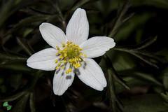 Lanemone dei boschi (Anemone nemorosa ) (mirkopizzaballa) Tags: macro primavera nikon fiore bianchi macroworld fiorellini 50mmaf ptali nikond7200 lanemonedeiboschianemonenemorosa